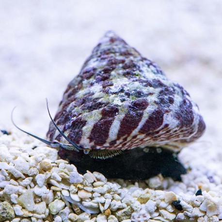 Trochus sp - Turbo snail